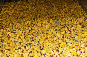 2015Rubberduck02 - Copy